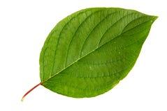 Zielony liść odizolowywający na biały tle Fotografia Royalty Free