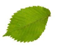Zielony liść odizolowywający na białym backgro wiąz Obrazy Stock