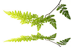 Zielony liść odizolowywający na białym tle Obraz Royalty Free