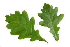 Zielony liść odizolowywający na białym tle dąb Zdjęcia Stock
