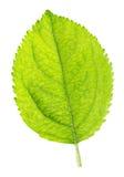 Zielony liść odizolowywający na białym tle jabłko Obrazy Stock