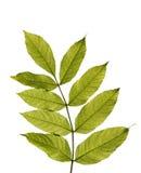 Zielony liść odizolowywający na bielu Zdjęcia Royalty Free