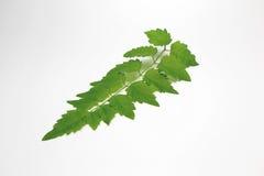 Zielony liść out W Tajlandia Biały tło Obraz Stock