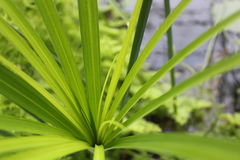 Zielony liść papirus Zdjęcie Royalty Free