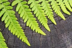 Zielony liść paproć Zdjęcie Royalty Free