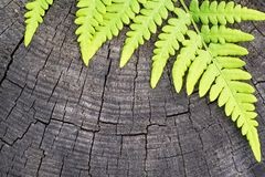 Zielony liść paproć Fotografia Stock