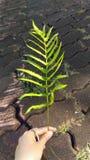 Zielony liść paproć w ręce obraz royalty free