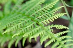 Zielony liść paprociowy dorośnięcie w lesie w makro- strzale Zdjęcie Stock