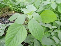 Zielony liść patrzeje należnie obrazy stock