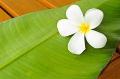 zielony liść plumeria biel Obraz Stock