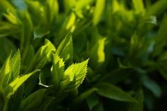 Zielony liść podkreślający słońcem zdjęcia stock