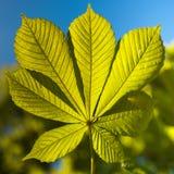 Zielony liść przeciw niebieskiemu niebu Fotografia Royalty Free