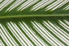 zielony liść pstrokacił Zdjęcia Stock