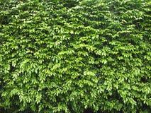 Zielony liść, roślina, Naturalny tło Zdjęcia Stock