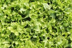 zielony liść sałaty dąb Obraz Stock