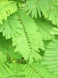 Zielony liść, tamarynda, drzewo Zdjęcie Royalty Free