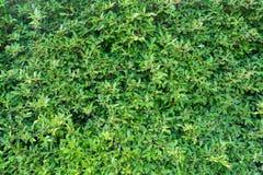 Zielony liść tekstury ściany tło Obraz Stock