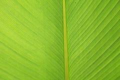 Zielona liść tekstura Obrazy Royalty Free