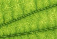 Zielony liść tekstury tło, zamyka up, natury pojęcie Zdjęcia Royalty Free