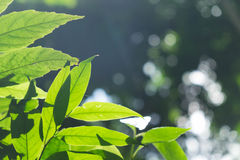 Zielony liść w ranku Obraz Royalty Free