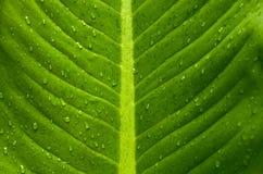 Zielony liść, wodne kropelki Zdjęcie Stock