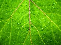 Zielony liść wody kropel szczegółu tło obrazy royalty free