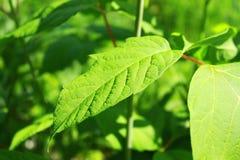 Zielony liść wygrzewa się w wiosny słońcu zdjęcia royalty free