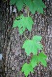 Zielony liść z drzewnym tłem Zdjęcia Royalty Free