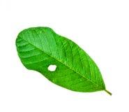 Zielony liść z dziurami Obraz Stock