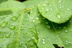 Zielony liść z kroplami podeszczowa woda, natury tło Obraz Royalty Free