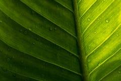 Zielony liść z kroplami woda - abstrakt zieleń paskował natura b Obrazy Stock