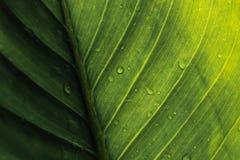 Zielony liść z kroplami woda - abstrakt zieleń paskował natura b Zdjęcie Royalty Free