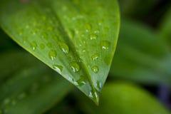 Zielony liść z kroplami woda - abstrakt zieleń paskował natura b Obraz Stock