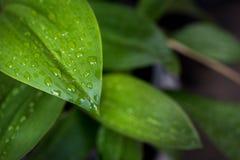 Zielony liść z kroplami woda - abstrakt zieleń paskował natura b Fotografia Stock
