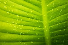 Zielony liść z kroplami woda - abstrakt zieleń paskował natura b Zdjęcia Stock