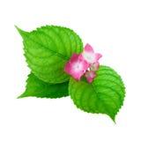 Zielony liść z pinkflower Zdjęcia Stock
