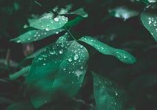 Zielony liść z rosą na ciemnym natury tle zdjęcia stock