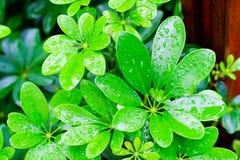 Zielony liść z wod kroplami dla tła Obrazy Royalty Free
