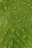 Zielony liść z wodnymi kroplami obrazy royalty free