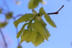 Zielony liść zamknięty przeciw niebu Obrazy Stock