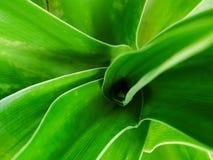 Zielony liści płatków krinum asiaticum widoku wierzchołek piękny in camera tak dużo fotografia royalty free