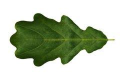 Zielony liścia dąb na białym tle odizolowywającym (symetryczny) obraz stock
