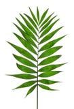 Zielony liścia drzewko palmowe (Howea) obrazy stock