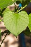 Zielony liścia serce kształtujący Obraz Royalty Free