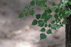 Zielony liścia tło dla kopii przestrzeni lub kopia teksta obrazy royalty free