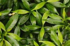 Zielony liścia tło piękny i świeży obrazy stock