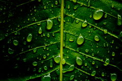 Zielony liścia tło z rosą w ciemnozielonym kolorze Obraz Royalty Free