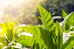 Zielony liścia tytoniu zakończenie w górę anda zamazywał tabacznego pola backgrou Fotografia Stock