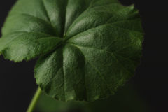 Zielony liścia zakończenie Obrazy Stock