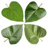 Zielony liścia bez Zdjęcia Stock